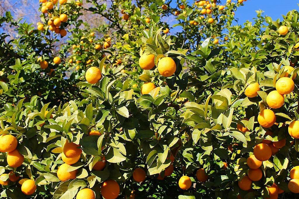 Je n'en reviens toujours pas de tous ces orangers dans les jardins... le climat est fou ! Ici c'est 18 degrés tous les jours en décembre... les allemands sont en shorts et tongs ! . ? Malaga • Spain ?? ? 6 jours en ANDALOUSIE . ?? tout suivre sur #PintadeEspagne . ________________  #andaluciatasteslike #andalousie #spain #espagne #andalucia #tourismo #gastronomie #food #blogfood #foodblogger #tourisme #travel #travelblog #blogtravel #trip #citytrip #pintademontpellier #blogvoyage #travelgram #travellover #cityguide #visitspain #almeria #jaen #granada #malaga